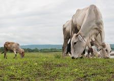 Ganado y cielo nublado, grupo de Asia de vacas Imágenes de archivo libres de regalías