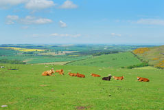 Ganado y paisaje de Northumberland cerca de Belford, Wooler imagen de archivo libre de regalías