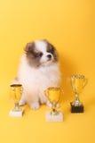 Ganador del perrito del perro de Pomerania imágenes de archivo libres de regalías