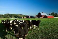 Ganados lecheros y granero rojo Fotografía de archivo libre de regalías