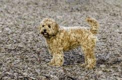 Ganarascan dog Stock Image