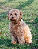 Ganarascan dog Royalty Free Stock Image