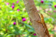 Gancho agarrador del lagarto el árbol Fotografía de archivo libre de regalías