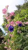 Gancho del leptopus de Antigonon de la flor, rosado fotos de archivo libres de regalías