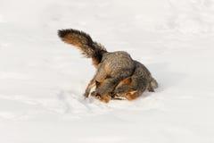 Ganchos agarradores del cinereoargenteus de Grey Fox Urocyon en otro en nieve Imagenes de archivo
