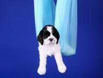 Gancio disponibile del cucciolo per gli animali Bianco di cocker spaniel dell'americano con una testa nera Fotografia Stock Libera da Diritti