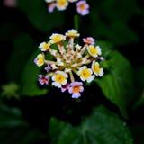 Gandapana blomma Arkivbild