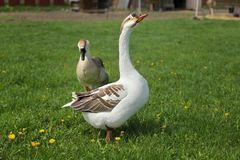 Free Gander And Goose Walking On A Meadow With Dandelions In Farm. Royalty Free Stock Photography - 119587047