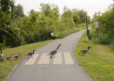 Geese crossing pathway Royalty Free Stock Photos