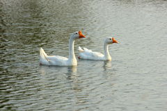 Gander and Goose in water Royalty Free Stock Photos