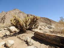 Gander`s Cholla Cactus at Anza-Borrego Desert State Park. With desert landscape in background Royalty Free Stock Photo