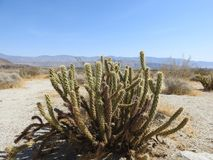 Gander`s Cholla Cactus at Anza-Borrego Desert State Park. With desert landscape in background Royalty Free Stock Images