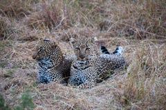 Gandulear leopardos Imagen de archivo libre de regalías