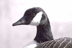 Gandy Goose. Goose Canadian Winter Park Gandy Stock Image