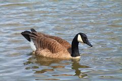 Gandy Goose. Enjoying a early spring day Royalty Free Stock Image