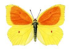 Ganepteryx帕特拉balearica 免版税库存图片