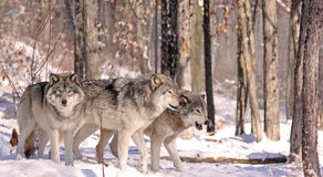 Gang. Wolfs in forest during winter Stock Photo