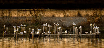 The gang is all here. Pigeons all on their perch in lake at sunset Royalty Free Stock Photos