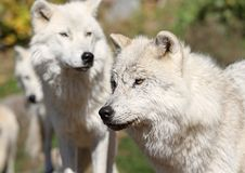 Gang of arctic wolf. Arctics wolfs in nature during autumn Royalty Free Stock Photography