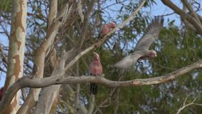 Gang-gang cockatoo flying away out of a tree in slow motion in Kalbarri, Western Australia stock footage