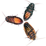 The gang of Cockroaches in white Stock Image