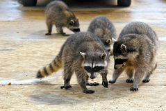 Gang of coons. Raccoons hanging out at a junk yard in the middle of the day Royalty Free Stock Images