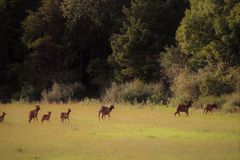 A gang of cow female and calf baby elk loping across a field toward the forest stock image
