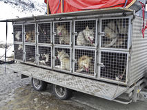 A gang of dogs. Dogs testing in the trailer,awaiting for musher Royalty Free Stock Photos