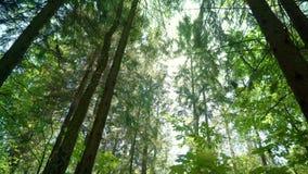 Gang door de zomer bos Zonnige stralen onder kronen van bomen in dicht bos stock footage