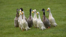Flock of domestic ducks Royalty Free Stock Photo