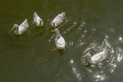 Gang of five. White duck in lake thailand Stock Photography