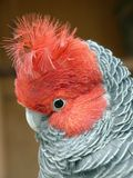 Gang-gang. This is a close up of gang-gang parrot found in queenland Stock Photos