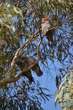 Gang Gang. A mature Australian male gang gang cockatoo displaying red head, and watching over his two adolescent offspring, high up in a gum tree Royalty Free Stock Images