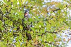 Gang-Gang cockatoo - Australian native bird portrait.  Stock Photos