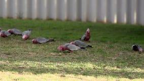 Gang-gang cockatoo flying to a group cockatoos in slow motion in Kalbarri, Western Australia stock footage