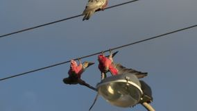 Gang-gang cockatoo hanging on street cables in Kalbarri, Western Australia stock video