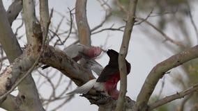 Gang-gang cockatoo in a tree in slow motion in Kalbarri, Western Australia stock video