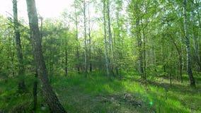 Gang langs de weg in de lentebos stock footage