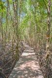 Gang in mangrovebos stock afbeelding