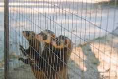 A gang of marmots look out of the cage. At the zoo Stock Images