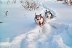 Gang met gehouden van huisdieren Het Siberische schor spelen op de wintergang Schor die honden in sneeuw in werking worden gestel stock afbeelding