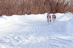 Gang met grappige huisdieren Siberische schor honden die op de wintergang spelen Stock Afbeeldingen
