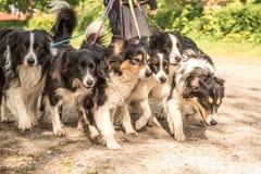 Gang met vele honden op een leiband Heel wat boerdercollies stock afbeelding