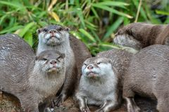 Gang otters Royalty Free Stock Photo