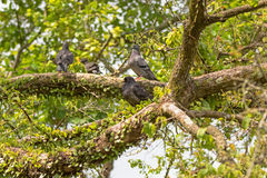 Gang of Pigeon, Rock Dove birds grouping on tree branch in Singa. Pore, Asia. Soft focus Royalty Free Stock Image
