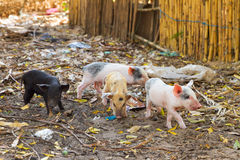 Gang of piglets Royalty Free Stock Image