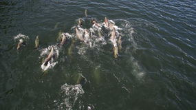 Gang of Sea Lions Stock Image