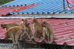 A gang of six teenage monkeys sits on the roof Stock Image