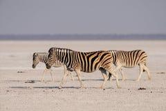 Gang van de Burchell` s de gestreepte kudde op de zoute pan, etosha nationalpark, Namibië Stock Foto