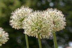Gang of white elephant garlic - allium ampeloprasum stock photo
